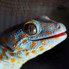 Pedro The Gecko